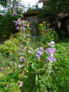 Campanula trachelium, die Waldglockenblume, Wurzerlsgarten