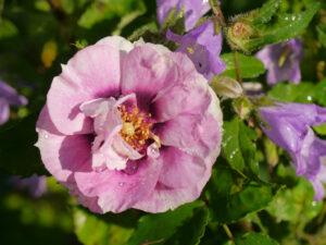 Rosa 'Bright' Eyes', Wurzerlsgarten