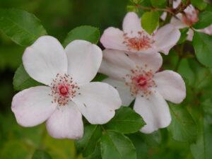 Rosa 'Sweet Pretty', Wurzerlsgarten