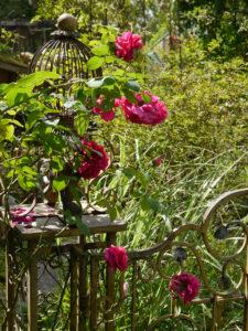 Rosa 'Dark Lady' am Paradiestor in Wurzerlsgarten
