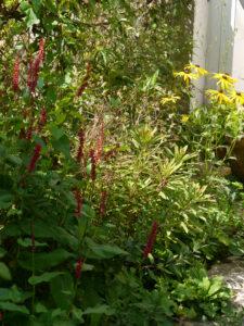Euphorbia, Kerzenknöterich und Rudbeckia, in Wurzerlsgarten
