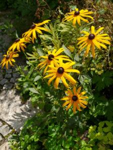 Rudbeckia fulgida 'Goldsturm', Wurzerlsgarten