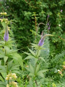 Veronicastrum virginicum und Phlomis russeliana, Wurzerlsgarten
