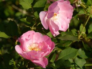 rosa, Rosa 'The Lady's Blush', Wurzerlsgarten