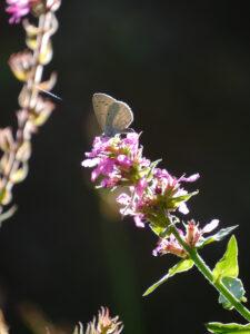 Zwerg-Bläuling, Cupido minimus auf Lythrum salicaria 'Zigeunerliebe' in Wurzerlsgarten