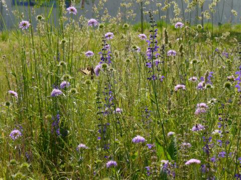 Blumenwiese mit Schwalbenschwanz bei Grube Messel