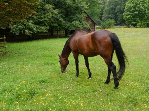 Braunes Pferd auf der Weide