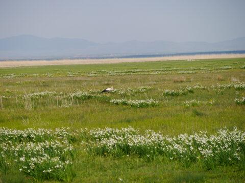 Beyşehir Gölü, Leucojum aestivum, Naturstandort Türkei