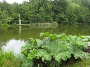 Das Mammutblatt wirkt am Ufer dieses großen Sees nicht zu groß, Coughton Court