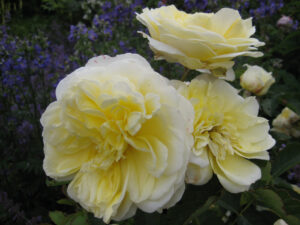 Rosa 'The Pilgrim', im Rosenlabyrinth von Coughton Court