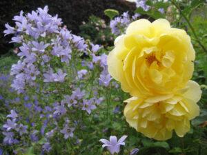 Im Rosengarten von Coughton Court