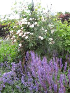 Die Rosen des Labyrinths schmiegen sich ins Beet, oder streben, wie hier nach oben im Coughton Court