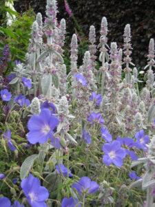 Geranium Hybride, Stachys byzanthina, Rosenlabyrinth, Coughton Court
