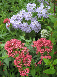Centranthus ruber, Spornblume vor Campanula, Glockenblume, Rosenlabyrinth, Coughton Court