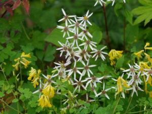 Gelber Lerchensporn (Pseudofumaria lutea) und Eurybia divaricata im Garten Picker