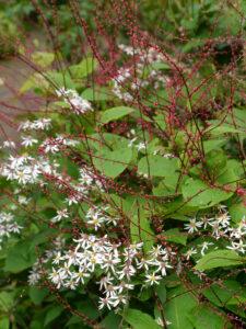 Fadenknöterich, Persicaria filiformis, mit Eurybia divaricata im Garten Picker