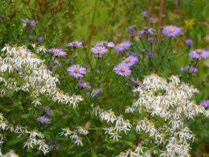 Eurybia divaricata, Garten Ullbrich
