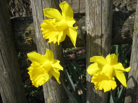 Osterglocken, Narzissen läuten das Osterfest ein.