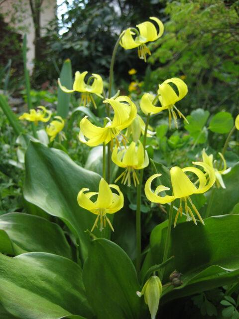 Erythronium 'Pagoda', Gelbe Hundszahnlilie, Wurzerlsgarten